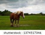 draft horses on mach road on... | Shutterstock . vector #1374517346