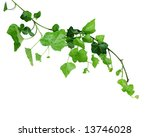 Ivy Vine Isolated On White...