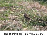 a meadow pipit in the garden | Shutterstock . vector #1374681710