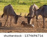 Mother wildebeest Connochaetes nuzzling new born calf following birth supported by other females Amboseli National Park Kenya East Africa