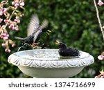 starlings and blackbirds in... | Shutterstock . vector #1374716699