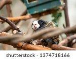 A Wet Capuchin Monkey Drying...