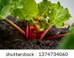 bright red rhubarb growing in a ... | Shutterstock . vector #1374734060