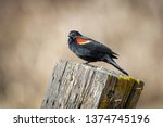 a red winged blackbird is... | Shutterstock . vector #1374745196