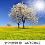 blooming cherry trees on... | Shutterstock . vector #137505539