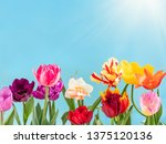 colorful tulips flowers spring... | Shutterstock . vector #1375120136