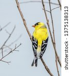 a male american goldfinch ... | Shutterstock . vector #1375138313