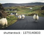 A Flock Of Scottish Blackface...