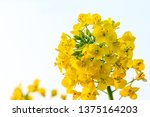 Close Up Of Rape Flower In The...