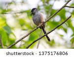long tailed tit scientific name ... | Shutterstock . vector #1375176806