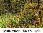 Spring Bluebells Growing Around ...
