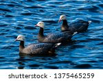 Emperor Geese Threesome