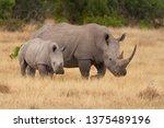 White Square Lipped Rhinoceros  ...