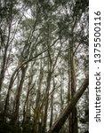 hosmer grove at haleakala... | Shutterstock . vector #1375500116