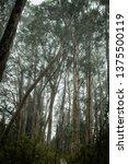 hosmer grove at haleakala... | Shutterstock . vector #1375500119