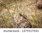 lizard in forest. small green... | Shutterstock . vector #1375517033