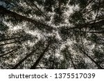 looking up tall trees in forest ... | Shutterstock . vector #1375517039