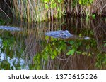 Young North American Alligator...