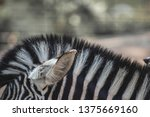 equine zebra head hair striped... | Shutterstock . vector #1375669160