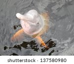 Small photo of Inia geoffrensis, commonly known as the Amazon river dolphin, is a freshwater river dolphin endemic to the Orinoco, Amazon