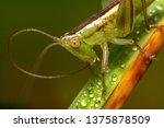 Green Grasshopper Crawling Dow...