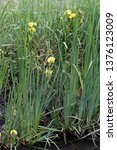 Small photo of Iris pseudacorus (yellow flag or yellow iris), a species of flowering plant of the family Iridaceae native to Europe, western Asia and northwest Africa.