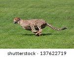 Photo Cheetah Running Across...