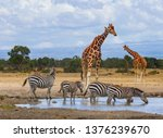 Giraffes waiting at waterhole as zebras drink water. Ol Pejeta Conservancy, Kenya, Africa. Endangered animals Reticulated giraffes, Giraffa camelopardalis tippelskirchii. Equus quagga drinking