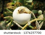 Stock photo africa spurred tortoise are born naturally tortoise hatching from egg cute portrait of baby 1376257700