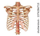 rib cage bones. human skeletal... | Shutterstock .eps vector #1376286713
