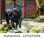 Family Of Chimpanzees Walking...