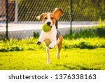 Stock photo beagle dog fun in garden outdoors run and jump with ball towards camera sunny day in garden 1376338163
