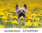 Stock photo yorkshire terrier portrait on blooming dandelion meadow 137639534