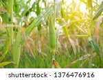 corn field with sunlight  | Shutterstock . vector #1376476916