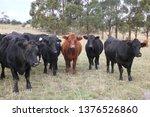 Angus Cattle Grazing