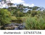 araucaria vegetation in the... | Shutterstock . vector #1376537156