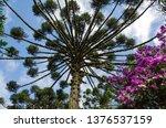 araucaria vegetation in the... | Shutterstock . vector #1376537159