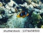 orange nemo clown fish in the... | Shutterstock . vector #1376658503