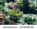 orange nemo clown fish in the... | Shutterstock . vector #1376658533