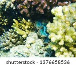 giant clam from egypt as very... | Shutterstock . vector #1376658536
