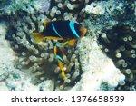 orange nemo clown fish in the... | Shutterstock . vector #1376658539
