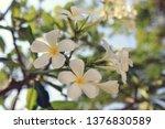 close up image of plumeria... | Shutterstock . vector #1376830589