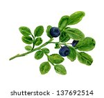 watercolor   blueberry branch.... | Shutterstock . vector #137692514