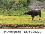 closeup buffalo eating grass... | Shutterstock . vector #1376965220
