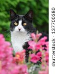 Black And White Tuxedo Cat...