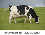 holstein black and white cows...