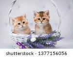 Stock photo easter cat kitten cat scottish straight loose fluffy animal munchkin 1377156056