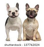 Two French Bulldogs  3 Years...