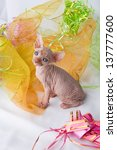 Stock photo sphynx cats and kittens playing miss studio photos 137777600