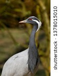 Small photo of Head of Demoiselle Crane